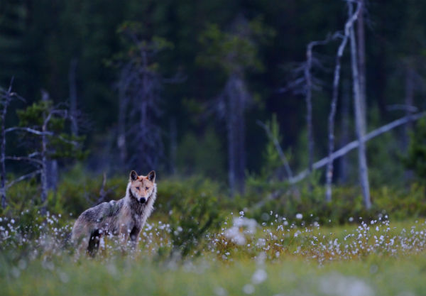 Wolves and Humans – A German love story?