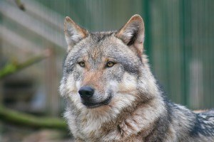 European Alliance for Wolf Conservation