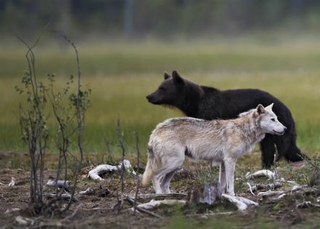 New study on large carnivores commissioned by the European Parliament